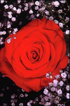 Red Red Rose by Jackie Sampers-Kilby