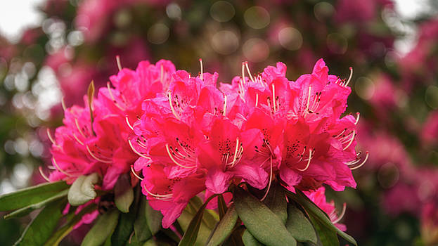 Red Rhododendron Flowers at Floriade, Canberra, Australia. by Daniela Constantinescu