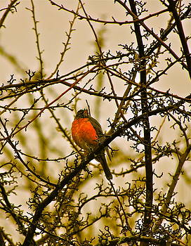 Red Robbin by Collette Rogers
