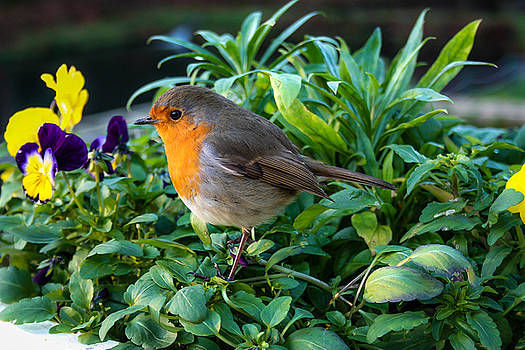 Red Robin by Linda Foakes