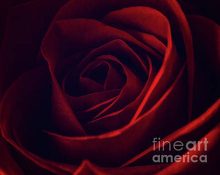 Red Rose 2 by Tim Wemple