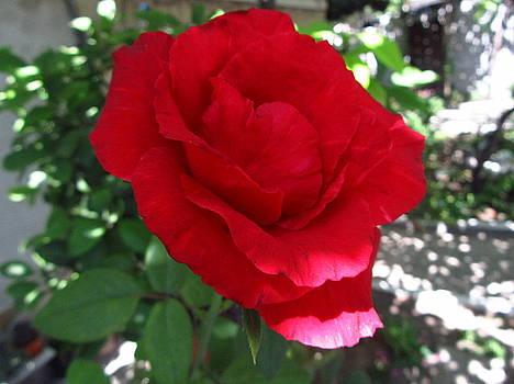 Red Rose 53 by Galina Todorova