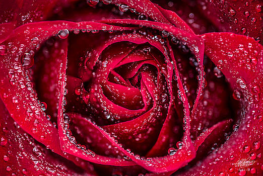 Red Rose by Adnan Bhatti