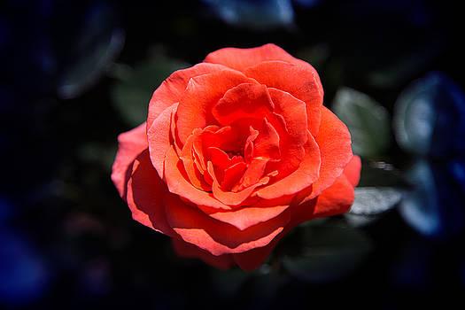 Milena Ilieva - Red Rose Art
