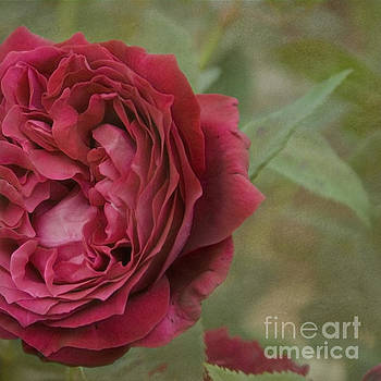 Red rose by Cindy Garber Iverson
