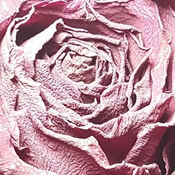 Red Rose Fade By Tammy Finnegan  #rose by Tammy Finnegan