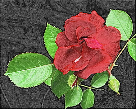 Michael Peychich - Red Rose for My Lady