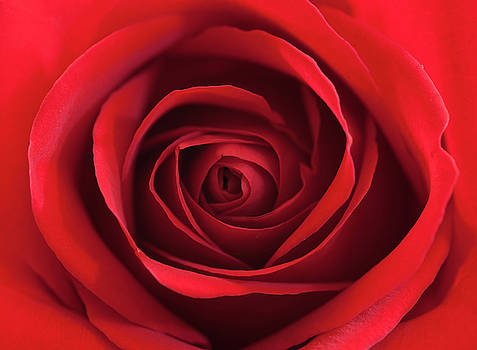 Red Rose by George Lovelace