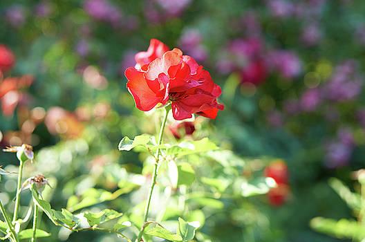 Red Rose by Konstantin Kolev