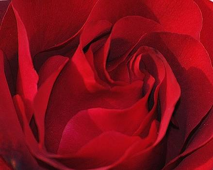 Red Rose by Lisa Mueller