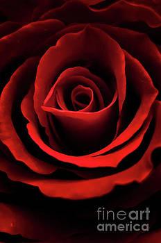 Mariusz Talarek - Red rose