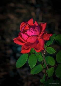 Red Rose Night by LeeAnn McLaneGoetz McLaneGoetzStudioLLCcom