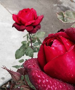 Red Roses by Beverly Johnson