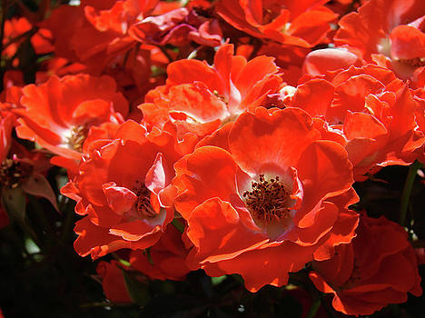 Baslee Troutman - RED ROSES Botanical Landscape 1 Red Rose Giclee Prints Baslee Troutman