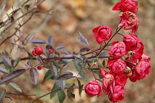Red Roses of Winter by The Art Of Marilyn Ridoutt-Greene