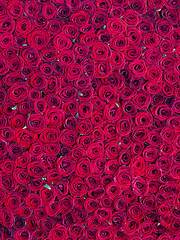 Red roses by Vitor Costa