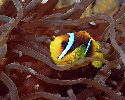 Red Sea Clownfish, Eilat, Israel 1 by Pauline Walsh Jacobson