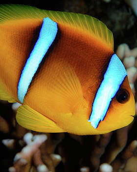 Red Sea Clownfish, Eilat, Israel 4 by Pauline Walsh Jacobson