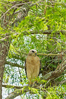 Red Shoulder Hawk Lookout by Natural Focal Point Photography