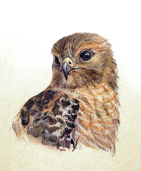 Red-shouldered Hawk by Abby McBride