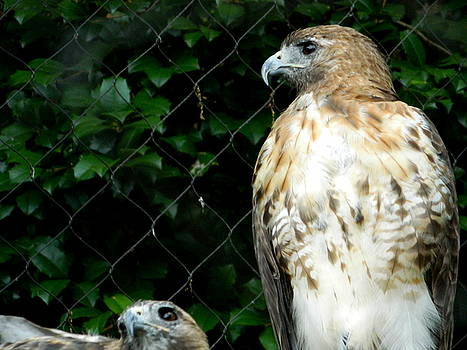 Arlane Crump - Red Shouldered Hawk