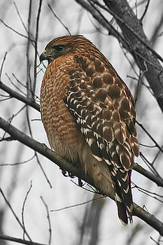 Red-Shouldered Hawk by CE Haynes