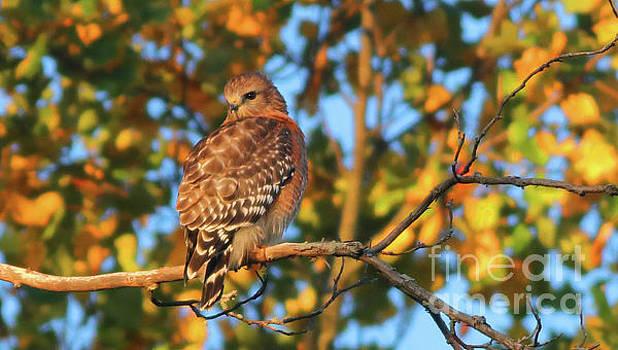 Red-Shouldered Hawk by Debbie Parker