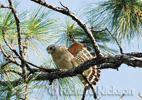 Red-shouldered Hawk In Pine Tree by Richard Nickson