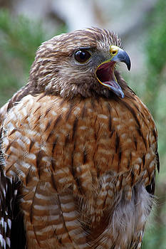 Jill Lang - Red Shouldered Hawk