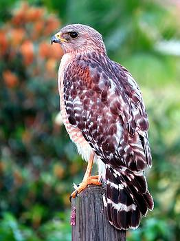 Red-Shouldered Hawk by Jonathan Sabin