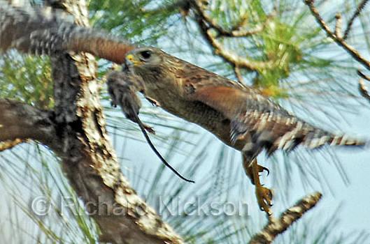 Red-shouldered Hawk by Richard Nickson