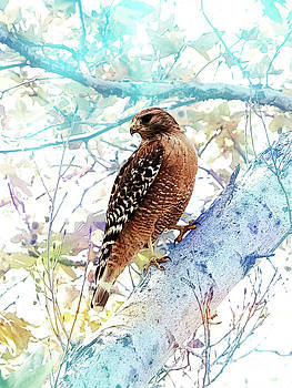 Red Shouldered Hawk by Robert Ball