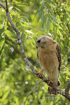 Red Shouldered Hawk Watching by Natural Focal Point Photography