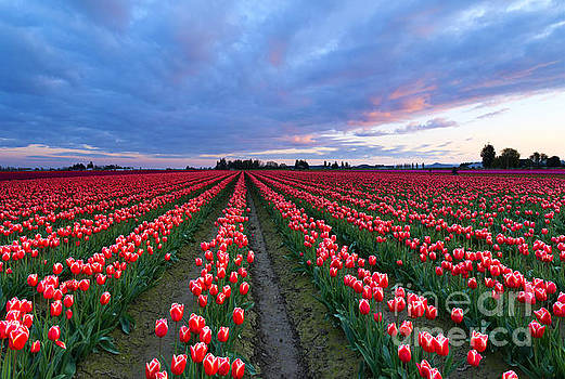 Mike Dawson - Red Sky over Tulips