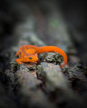 Chris Bordeleau - Red Spotted Newt