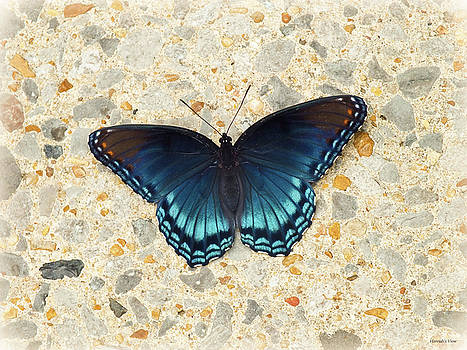 Red Spotted Purple Butterfly  by Hannah Underhill