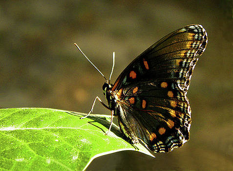 Red Spotted Purple Butterfly by Sandi OReilly