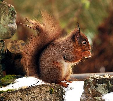 Red Squirrel by Dave Smith