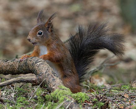 Red Squirrel, Formby Point, England by David Stanley