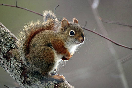 Red Squirrel by Gerald Salamone