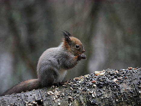 Red Squirrel in Rain eating seeds and nuts by Jouko Lehto