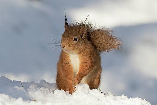 Red Squirrel in the Snow by Karen Van Der Zijden
