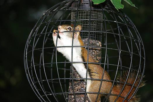 Red Squirrel Jail by Randy Bodkins
