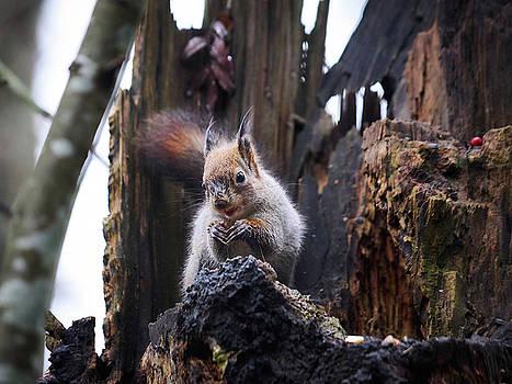 Red Squirrel on the Black Stump by Jouko Lehto