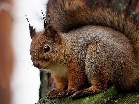 Red Squirrel portrait 1 by Jouko Lehto