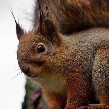Red Squirrel portrait 3 by Jouko Lehto