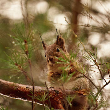 Red Squirrel portrait pinestyle by Jouko Lehto