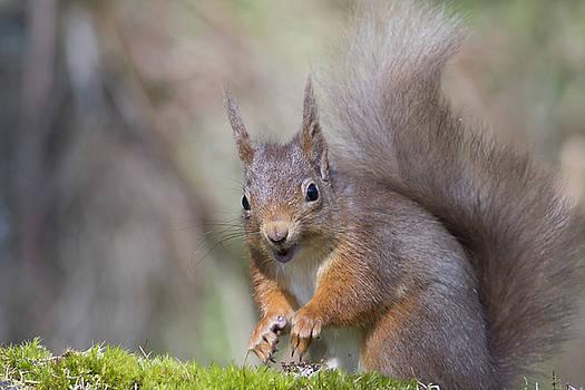 Red Squirrel - Scottish Highlands #26 by Karen Van Der Zijden