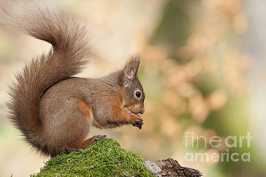 A Moment of Meditation - Red Squirrel #27 by Karen Van Der Zijden
