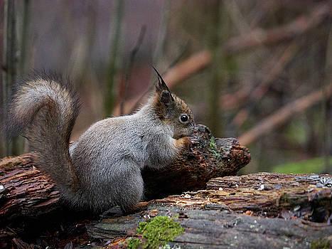 Red Squirrel The Finder by Jouko Lehto